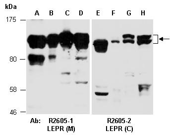 Lepr m antibody rabbit polyclonal products abiocode for R2605